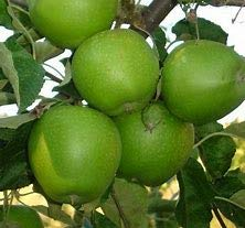 (3 Gallon Bare-Root) Granny Smith Apple Tree, Fruits are Medium to Large in Size, Crunchy Fresh, Soft and Juicy.
