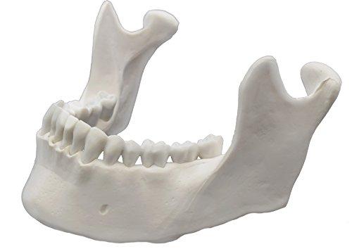 Mandible Bone Model - Anatomically Accurate Human Replica - hBARSCI ()