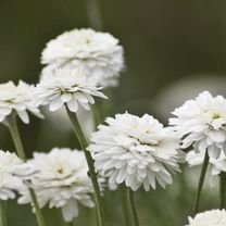 9154a253cf7f9 Image not available for. Colour: Chamomile Plant
