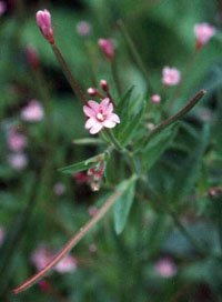 Small Flower Willow Herb, Cut&Sifted - Wildcrafted - Epilobium parviflorum (454g = One Pound) Brand: Herbies Herbs