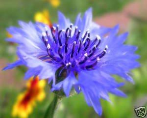 Centaurea Bachelors Button Blue Boy Nice Garden Flower By Seed Kingdom 100 Seeds