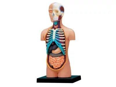 Edde Dental 4d Puzzle piezas Torso Humano Anatomía Enseñanza Modelo ...