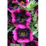 50 Black Midnight Delight Petunia (Delight Seed)