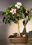 Bonsai Boy's Flowering Tropical Pink Hibiscus Braided Trunk rosa sinensis