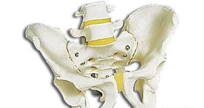 3B社 骨盤模型 男性骨盤モデル (a60) B003Z2S8OK