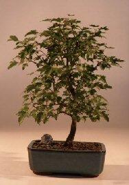 Bonsaiboy Trident Maple Bonsai Tree Acer Buergerianum by Bonsai Boy by Bonsai Boy