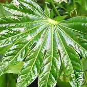 Fatsia japonica HARDY JAPANESE ARALIA Seeds VERY EXOTIC