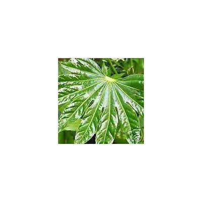 Fatsia japonica HARDY JAPANESE ARALIA Seeds VERY EXOTIC : Garden & Outdoor