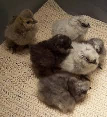 real baby chickens for sale - 1