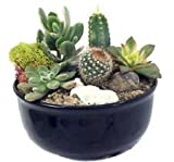New Mexico Steer Head Cactus & Succulent Garden - Black Glazed Pot -Easy to grow