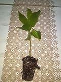 Jamaican Cherry aka Strawberry Tree live healthy plant