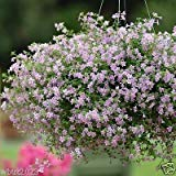 Blutopia Bacopa Seeds, Perfect for Hanging Baskets and Windowboxes. Perennial !