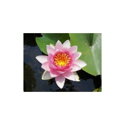 Nymphaea 'Sultan' Hardy Red Waterlily : Garden & Outdoor