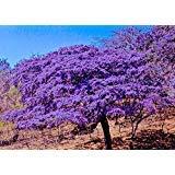 Holywood lignum vitae Guaiacum sanctum, Exotic hard wood rare seed 25 - Lignum Tree Vitae