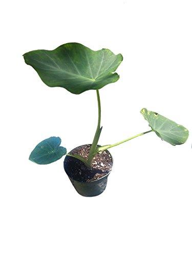 9GreenBox - Jack's Giant Colocasia - 4'' Pot