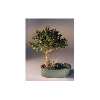 Bonsai Boy's Baby Jade Bonsai Tree Water Land Container - Medium Portulacaria Afra: Garden & Outdoor