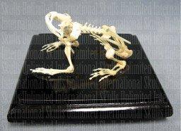 (Common Toad Skeleton (Natural Bone Economy))