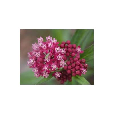 Swamp Milkweed Seeds - 3 Packs of 100+ Heirloom, Non-GMO, Chemical Free Seeds. Locally Grown and harvested. Easy to Grow, Beautiful Plant That attracts Monarchs and Bees. : Garden & Outdoor