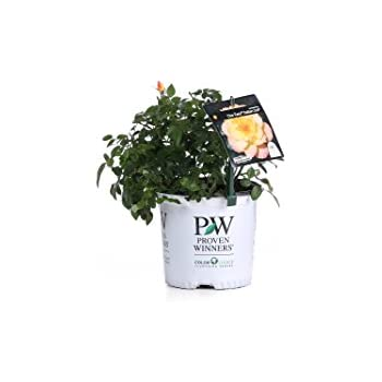 Oso Easy Italian Ice Landscape Rose (Rosa) Live Shrub, Orange, Pink, and Yellow Flowers, 1 Gallon