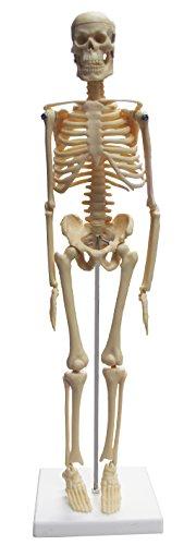 [해외]비전 과학적인 VAS203 17(43cm) 탁상용 해골 / Vision Scientific VAS203 17\u201d (43cm) Desktop Skeleton