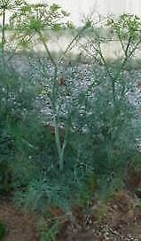Dill, Dwarf Fern Leaf - 12oz Pot - Live Plant +!