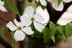 The Dirty Gardener Cornus Sericea Western Dogwood Tree, 50 Seeds (Best Flowers To Plant In Northern Virginia)