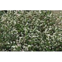 Vegetable Kings Seeds Pictorial Packet - Green Manures - Buckwheat