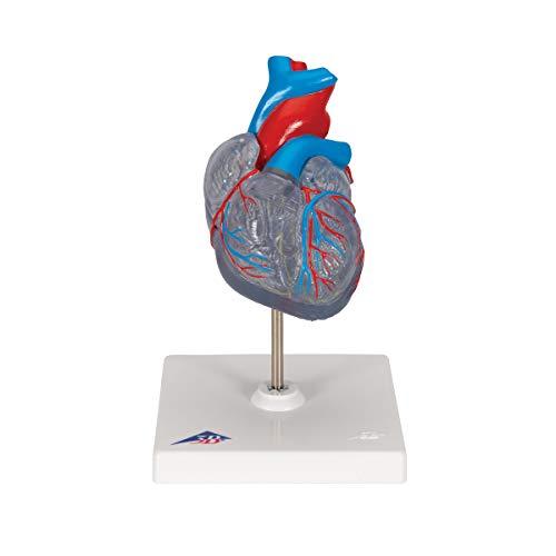[해외]3b 과학적인 G083 2 부 클래식 심장 전도 시스템 4.7 \\ / 3B Scientific G083 2 Part Classic Heart with Conducting System 4.7 Length x 4.7 Width x 7.5 Height