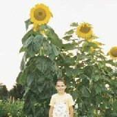 *Seeds and Things Skyscraper Sunflower 50 Seeds The Giant