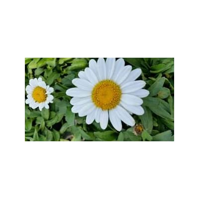 (10 Count Tray of 1 Liner Pots) 'Becky' Shasta Daisy Foliage of Shiny, Deep Green Leaves, Pure White Single Flowers with Yellow Center, 2003 Perennial Plant of The Year : Garden & Outdoor