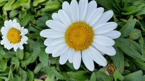 Daisy Tray - (10 Count Tray of 1 Liner Pots) 'Becky' Shasta Daisy Foliage of Shiny, Deep Green Leaves, Pure White Single Flowers with Yellow Center, 2003 Perennial Plant of The Year