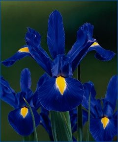 25 Dutch IRIS Blue Magic, 8/+ cm Bulbs, Priority Shipping Upgrade Free!