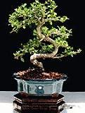 Imported Fukien Tea Bonsai Tree by Sheryls Shop
