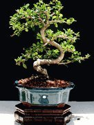 (Imported Fukien Tea Bonsai Tree by Sheryls Shop)