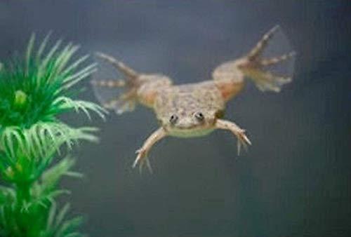 (Polar Bear's Pet Shop 2 Live African Dwarf Aquatic Frogs)