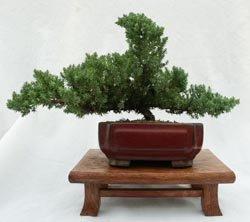 Phenomenal Amazon Com Dwarf Japanese Juniper Bonsai Tree 8 Pot Bonsai Wiring 101 Ouplipimpapsstreekradiomeanderfmnl