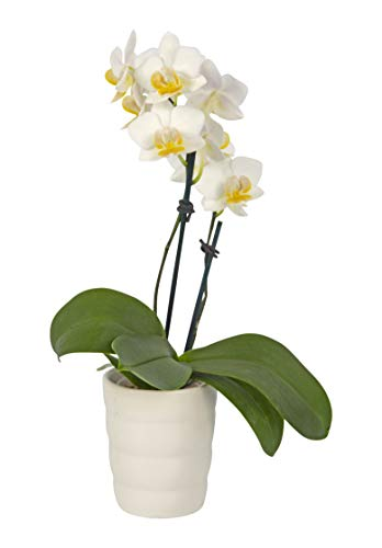 Color Orchids Live Blooming Phalaenopsis Mini Orchid Plant in Ceramic Pot, 8