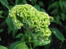 30 semillas + Spring Green Cresta de gallo Celosia de flor/auto-siembra anual