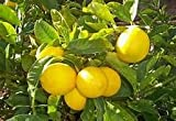 yellow0pcs/bag Edible Fruit Meyer Lemon Plants Exotic Citrus Bonsai Lemon Tree Fresh