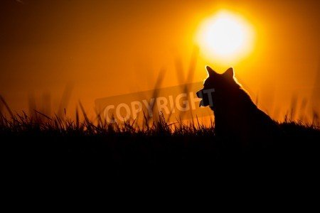 Silhouette of a Akita Inu Dog at Golden Sunset.(64577125): Amazon ...