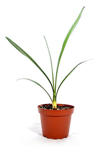 9Greenbox Good Hope Clivia, Fire Lily, 15.9 Ounce (Pack of 3) by 9GreenBox.com (Image #1)