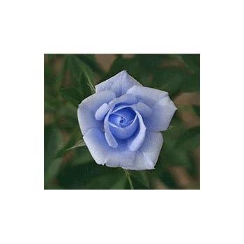 Osiria Rose Bush For Sale