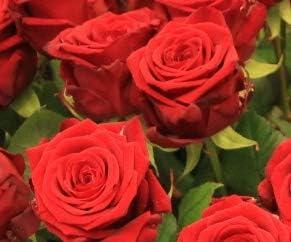 Flora Trans Blumenstrau/ß 10 Rote Rosen Rosenstrau/ß zum Hochzeitstag