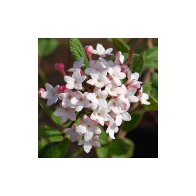 (2 Gallon) JUDDII Viburnum- Intoxicatingly Fragrant Garden Shrub, Rounded Clusters of White Blooms : Garden & Outdoor