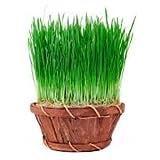 Cat Grass Seeds 15 grams