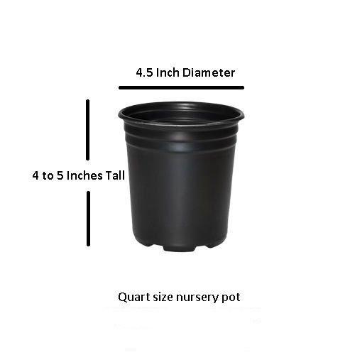 Amethyst Falls Wisteria Vine - Live Plant - Quart Pot