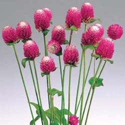 Gomphrena Audray Bicolor Rose 250 seeds