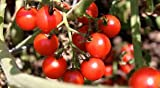 Tomato Tommy Toe 250 Seeds