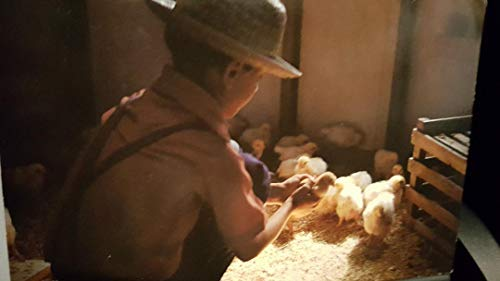 Post Card: Young Amish Boy proudly caring for the newly hatched chicks