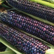 Hopi Blue Corn - Hopi Blue Flour Corn - 100 Seeds